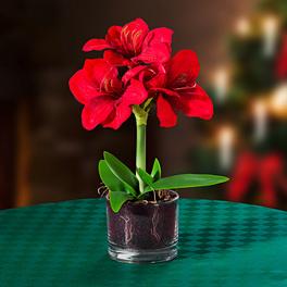 Amaryllis en pot de verre, rouge