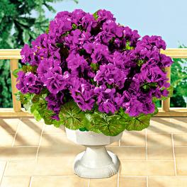 Bouquet de géraniums, violet