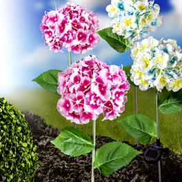 Hortensia solaire, rose