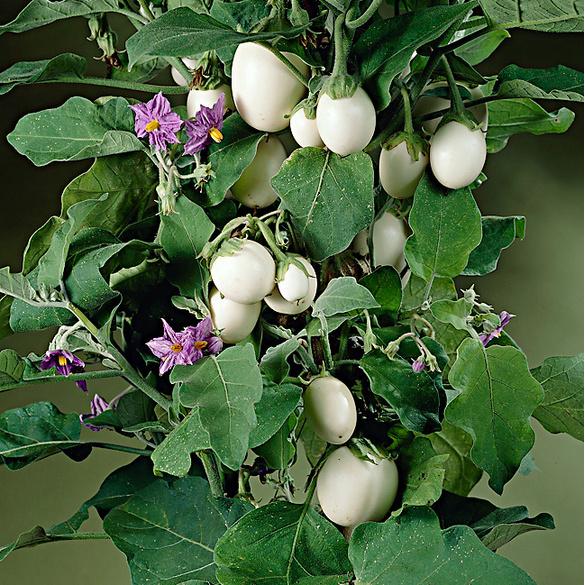 Plante à œufs