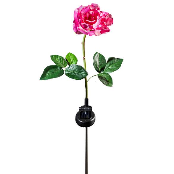 Rose solaire, rose-blanc