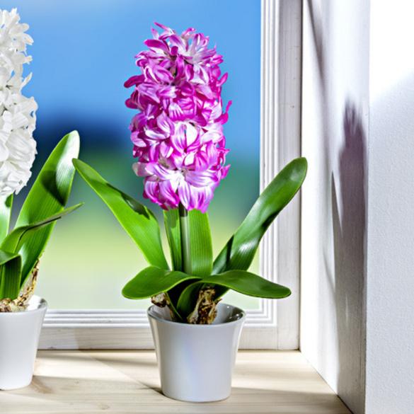 jacinthe en pot rose vitrine magique. Black Bedroom Furniture Sets. Home Design Ideas