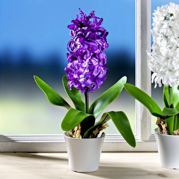 jacinthe en pot violet vitrine magique. Black Bedroom Furniture Sets. Home Design Ideas