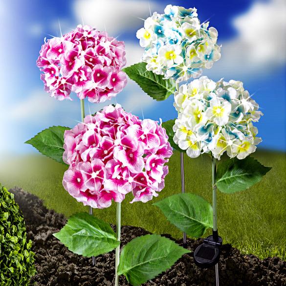 Hortensia solaire, bleu