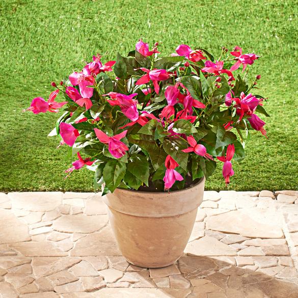 Fuchsia, rose vif
