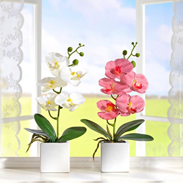 Orchidée en pot, blanc/rose