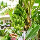 Mini-bananier