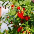 Lyciet Super Fruit Baies de Goji